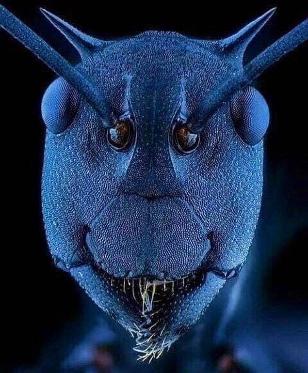 11. Bir karakarıncanın yakın çekim yüzü: