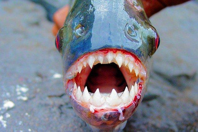 10. Kırmızı karınlı pirananın ürkütücü dişleri: