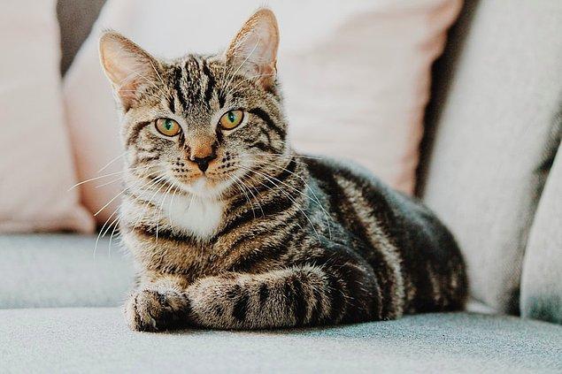 2. Bir kedinin mırlaması onun sadece mutlu olduğu anlamına gelmez, bazen sinirlendiklerinde veya stresli olduklarında da mırlayabilirler.