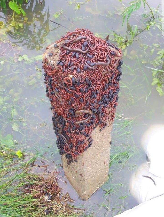 13. Sel sırasında sudan yüksek bir yere sığınan böcekler.