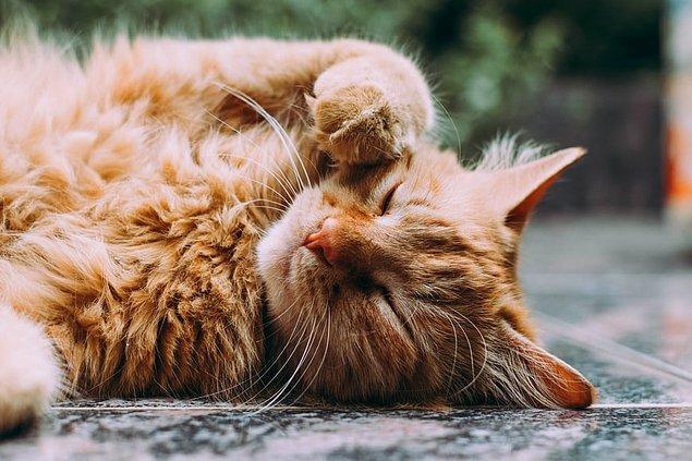 15. İlk kedi gösterisi 1871 yılında Londra'da yapılmış olup, gösteriye yüzlerce farklı kedi ırkı katılmıştır.
