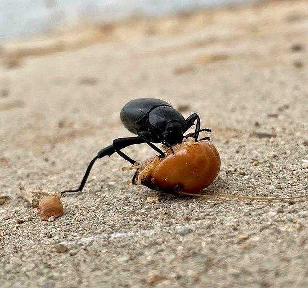 15. Bir patates böceğinin kafasını yiyen süne böceği: