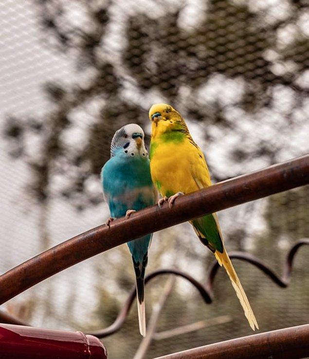 12. Dişi muhabbet kuşları üreme döneminleri boyunca, kalsiyumun artışının neden olduğu kemik yoğunluğundan dolayı ağırlık kazanır.