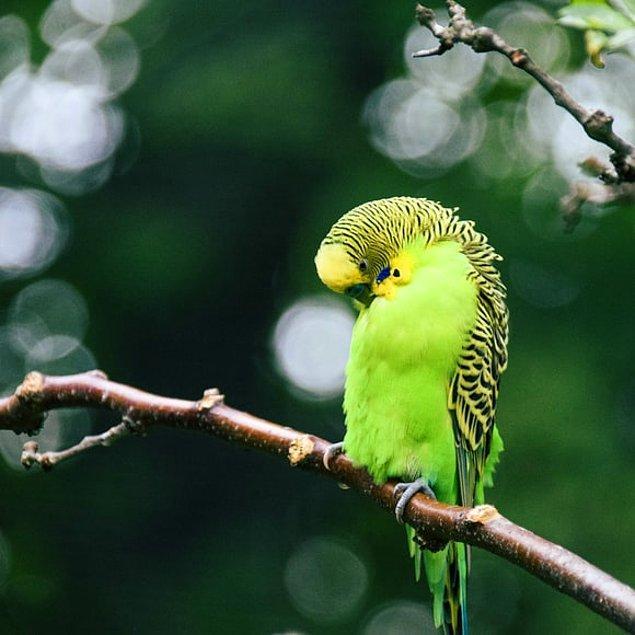 15. Mesaneleri bulunmayan muhabbet kuşlarının idrarı ve dışkısı aynı bölgeden çıkıyor.