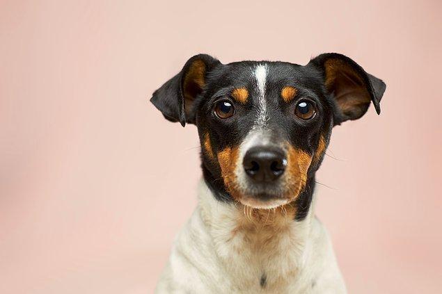 İnsanlar vücuda giren bu maddenin toplamının yarısını 2--3 saatte sindirirken, köpeklerin aynı miktarı sindirmesi 17.5 saat sürer.