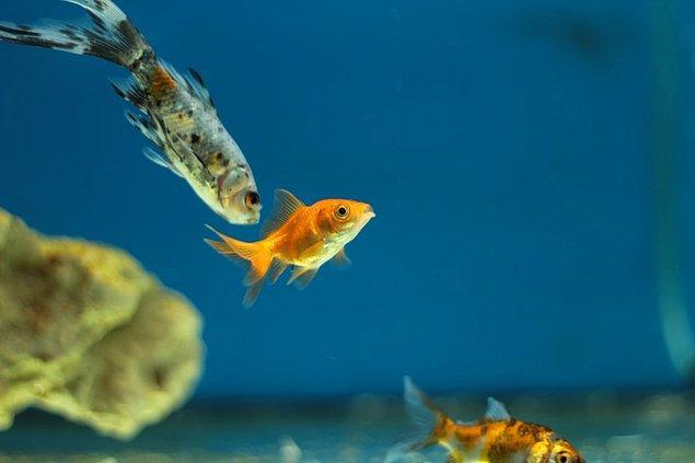 3. Japon balıkları insan yüzünü tanıyabilir.