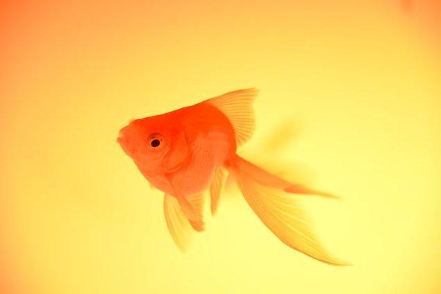 7. Japon balıkları gözlerini kapatamazlar.