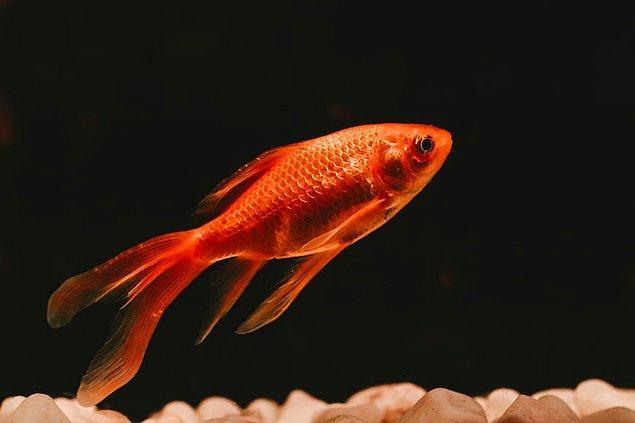 12. Japon balığı, ışık seviyelerine bağlı olarak renk değiştirir.
