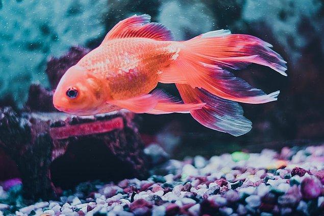 13. Japon balıkları hepçildir.