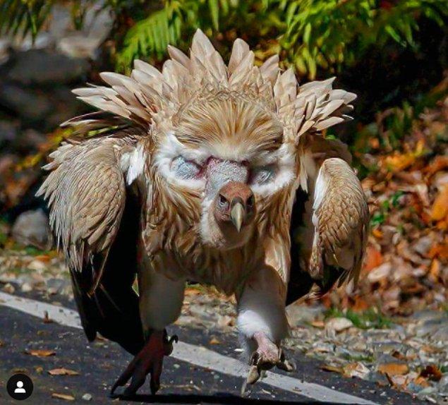 3. Kafasının üstünde inanılmaz büyük gözleri varmış gibi duran Himalaya kızıl akbabası:
