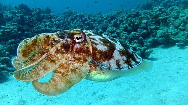 13. Büyük bir mürekkep balığının penis boyu 91cm'ye kadar ulaşabilir.