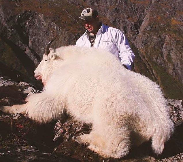3. Devasa dağ keçisi:
