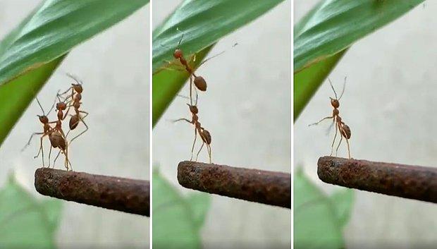 Arkadaşlarının Yaprağa Tırmanmasına Yardım Ettikten Sonra İhanete Uğrayan Karıncanın Yürek Burkan Anları