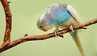 Muhabbet Kuşu Nasıl Konuşturulur? Muhabbet Kuşu Nasıl Alıştırılır?